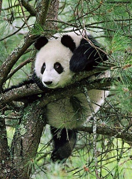 Приколы: Как падают панды (3 фото)