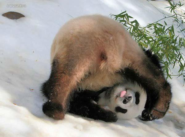 Приколы: Панда резвится на снежной горке (5 фото)