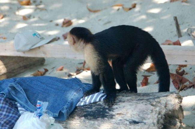 Приколы: Что ищет обезьянка в вещах купающихся (4 фото)