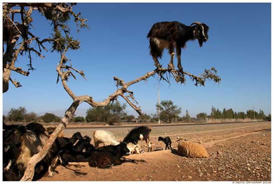 Приколы: Козы живущие на деревьях (3 фото)