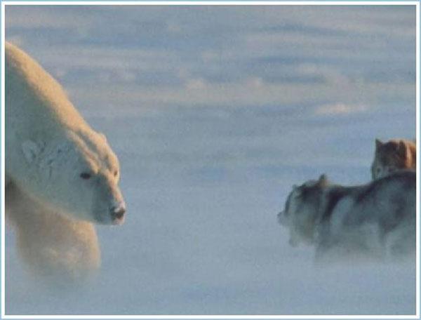 Приколы: Собаки встретились с белым медведем (5 фото)