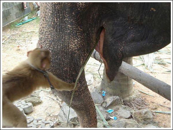 Приколы: Обезьянка подкармливает слона (7 фото)