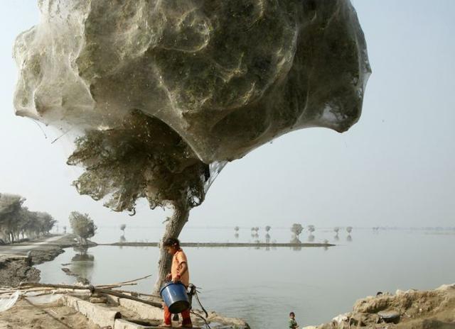 Картинки, Жесть: Нашествие пауков  в Пакистане